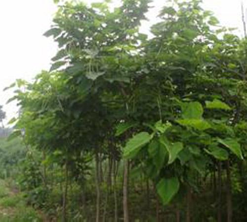 大果沙棘苗木